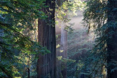 redwood: Redwood National Park in California, USA