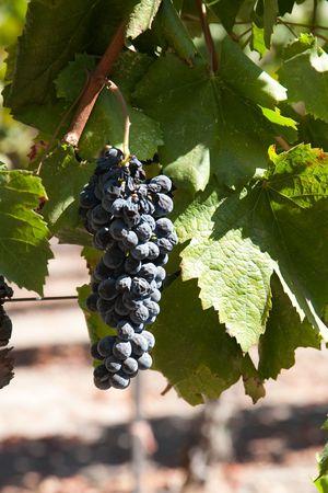 nappa: Bunch of Grapes, Nappa Valley in California, USA