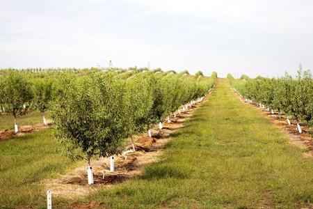 almond tree: almond plantation in California, USA