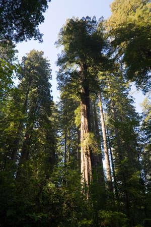 Crown of trees, Redwood National and State Park in California, USA photo
