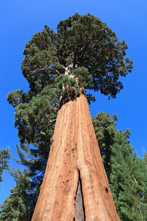 Sequoia trees, Sequoia National Park in California, USA photo