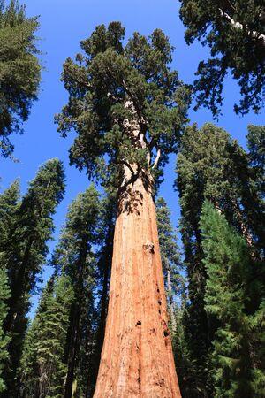 General Sherman (tree), Sequoia National Park in California, USA Stock Photo