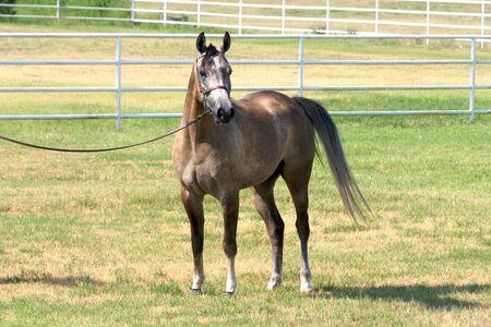 gelding: Gray Arabian gelding