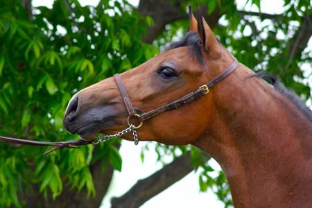 halter: Head shot of an Arabian halter horse