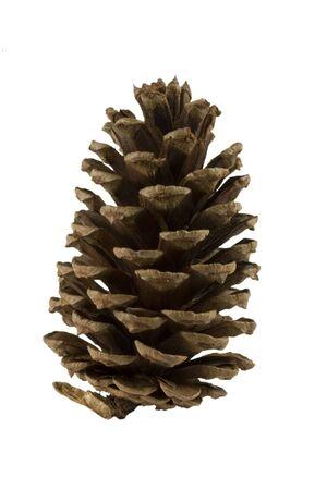 pine cone: Pine cone alpha