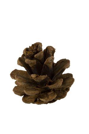 pine cone: Pine cone beta