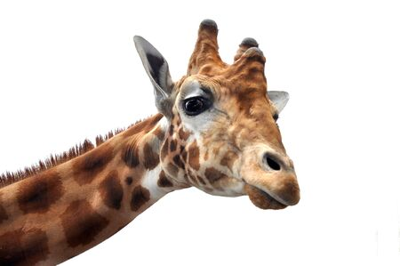 Giraffe looking curious into the camera
