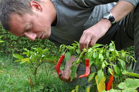 young farmer cultivating red peppers in his yard Stock Photo
