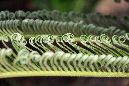 cycad: curly cycad palm Stock Photo