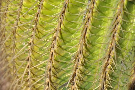with spines: Cactus spines and needles Stock Photo