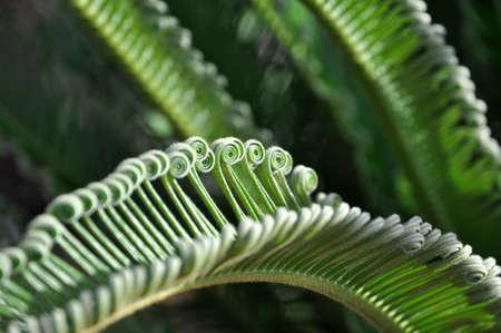 cycad: green curly cycad palm