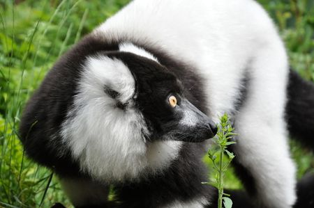 happening: Curious Vari lemur looking whats happening overthere