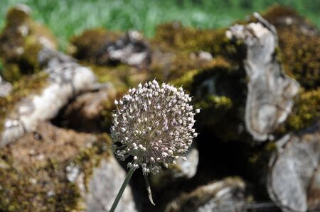 Bud of allium n igrum in front of overgrown trees Stock Photo - 7451693