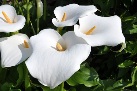 spadix: Group of Arum lilly flowers with yellow spadix Stock Photo