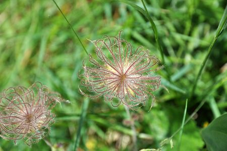 feathery: Two feathery silvery balls of the Pulsatilla Vulgaris