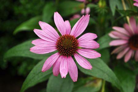 Single flower of the Echinacea purpurea family