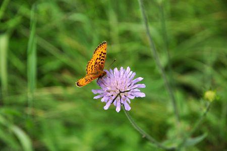 trifolium: Beatifull flower of Trifolium with brownish butterfly Stock Photo