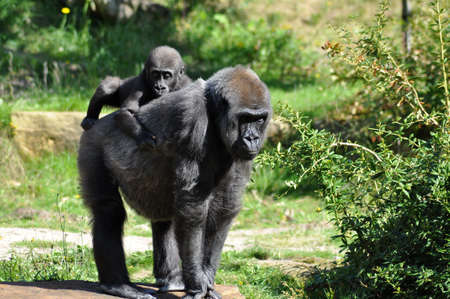 Gorilla baby heaving a ride on mothers back Stock Photo - 7740234