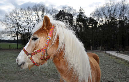 Brown horse with beautiful white mane looking over shoulder