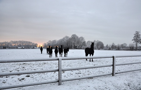 paddock: Group of Dutch Black horses in the snow