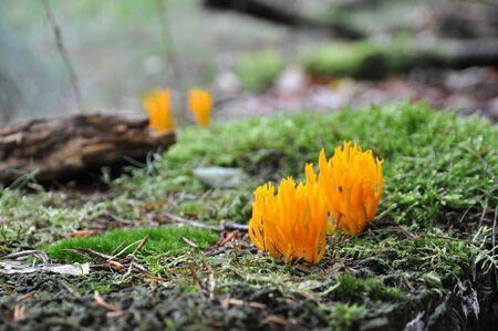 chóralne: Żółty grzyba chóralna uprawy na urodzajny moss Zdjęcie Seryjne