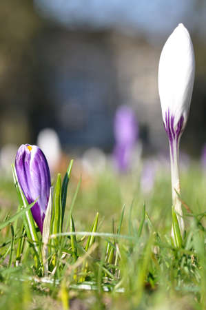 nascent: Nascent white and purple crocus flowers