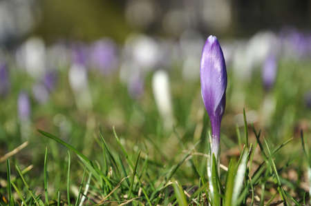 nascent: Single purple crocus flower in grass meadow