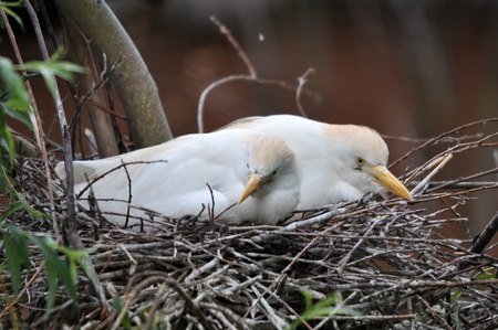 Bubulcus ibis hatching eggs on a nest Stock Photo