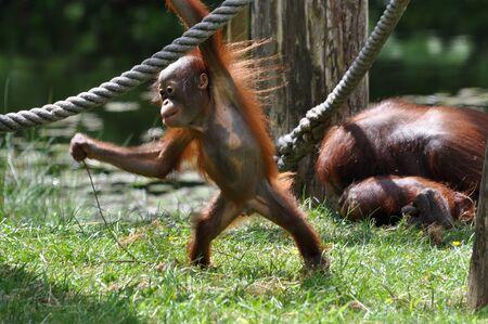 Orangutan baby playing around in the zoo  Stock Photo