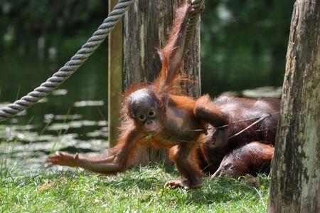 genitali: Baby orangutan giocando intorno allo zoo