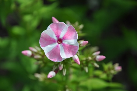 Closeup of single flower of the Phlox peppermint twist  Stock Photo - 10427279