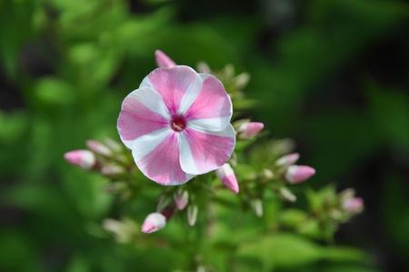 Closeup of single flower of the Phlox peppermint twist Stock Photo - 10427279