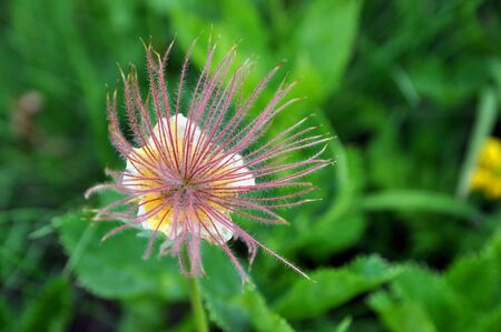 Aven seed head flower from mountain area