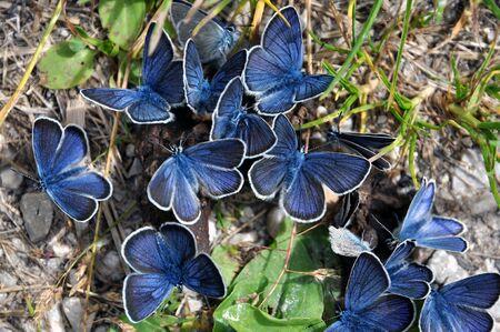 manure: Group of blue Mazarine butterflies on manure