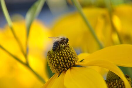 stami: Wasp concimazione fiore giallo con stami in visita Archivio Fotografico