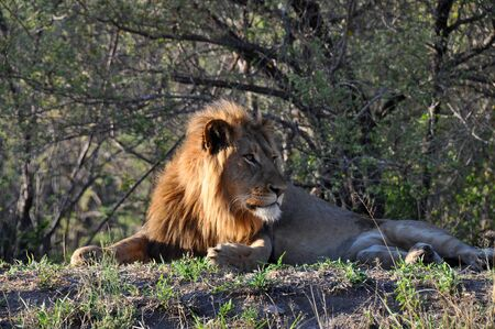 Lion resting in grassland in South Africa photo