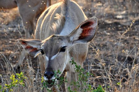 Nyala female eating leaves from the bushes in South Africa photo