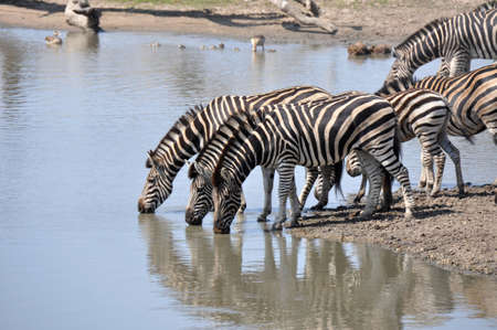 Three zebras drinking water in Kruger parc South Africa photo