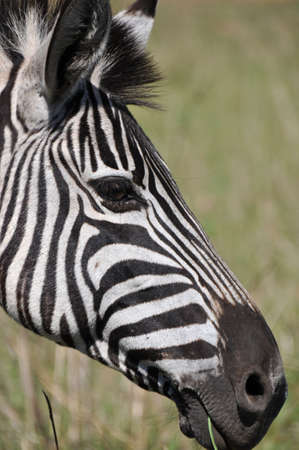 solitair: Zebra looking smart in South African national parc
