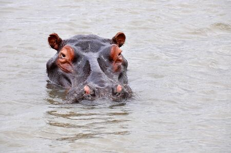 Huge hippo looking from the water in Sl Lucia lagune photo