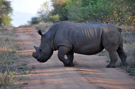 Large Rhino  scent-marking his territory by urination