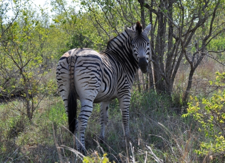 Zebra looking around in the bushes of South Africa Stock Photo