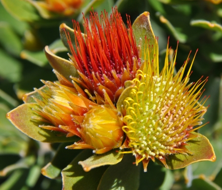 Tufted pincushion species of the protea in South Africa