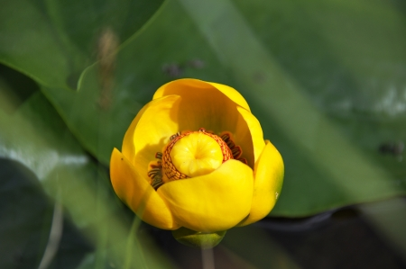 Yellow Pond Lily  Nuphar lutea  on green leaves Stock Photo