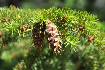 Douglas fir young cone maturing on a tree Stock Photo