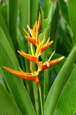 periquito: Heliconia (flor perico) Foto de archivo