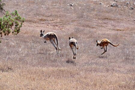 Kangaroos on the run Stock Photo