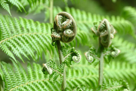 A fern unrolling a young frond Stock Photo