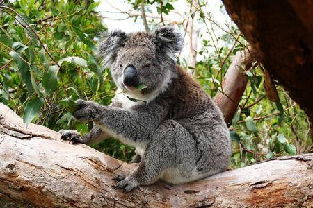Koala eating Eucalyptus leaves