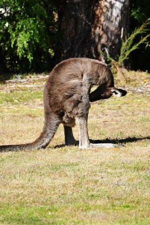 scrotum: Kangaroo graffiare il suo cavallo